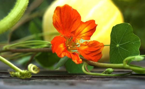 Böjtfű, vagy más néven sarkantyúvirág a kertben egy tök mellett.
