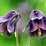 Közönséges harangláb virága (Aquilegia vulgaris).