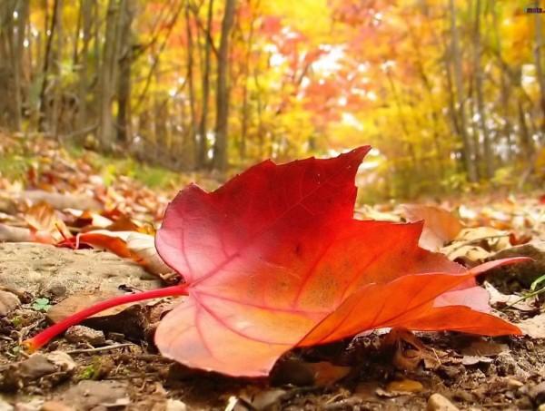 Előtérben egy lehullott, vörös színben pompázó falevél, a háttérben őszi, napsütötte erdő.