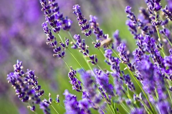 Levendulamezőben készült fotó a növény lila virágairól.