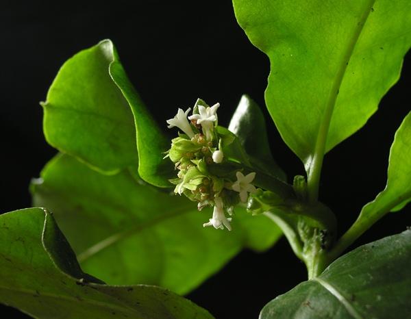 Hánytatógyökér (Psychotria ipecacuanha) fehér virágai.