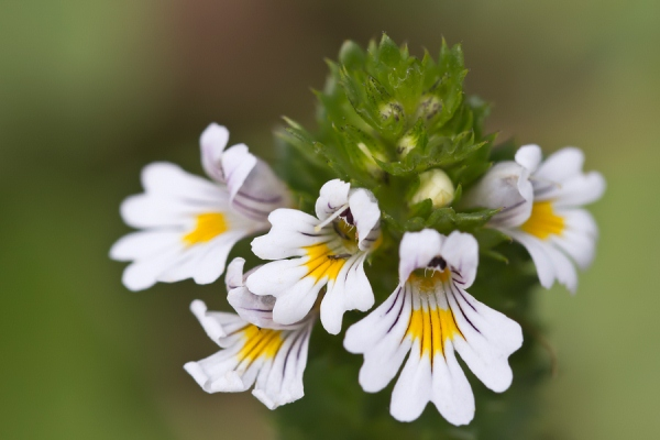 Szemvidítófű virága (Euphrasia rostkoviana).
