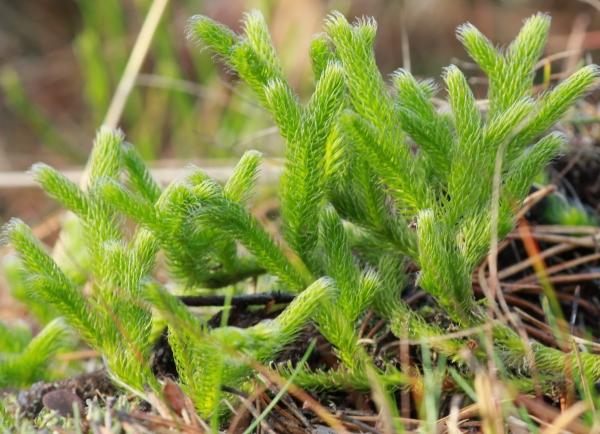 Lycopodium clavatum, azaz korpafű a mohaszerű levélkéivel.