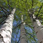 Zöld leveles nyírfa alulnézetből fotózva.
