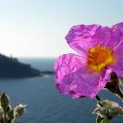 Cistustea – a görög bodorrózsa gyógyereje