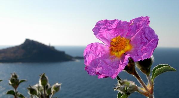 Görög bodorrózsa szép virága, a háttérben egy sziget.