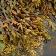 Gyógynövény az óceánból: hólyagmoszat