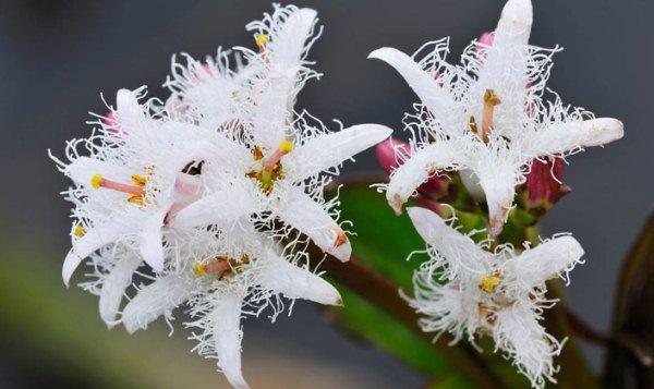Vidrafű bolyhos, fehér virága.