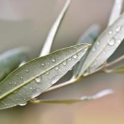 Az olajfalevél-kivonat lenyűgöző gyógyereje