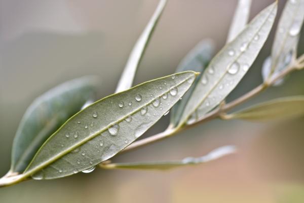 Olajfa levelei eső után fotózva.
