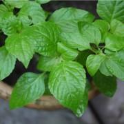 Indiai bazsalikom – a királyi gyógynövény