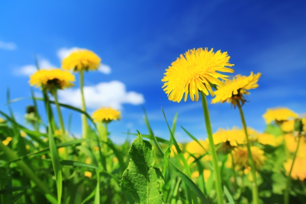 Sárga virágú pitypangok a mezőn, fenn a bárányfelhős, kék ég.
