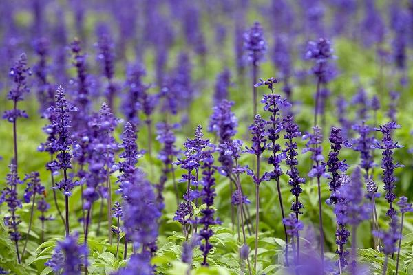 Muskotályzsálya lila, impozáns virágai.