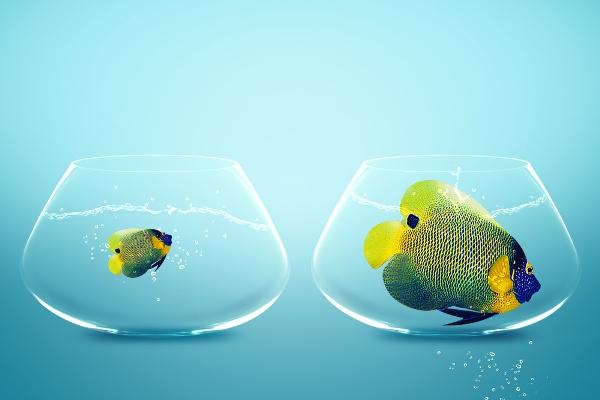 Két egyforma üvegedényben ugyanolyan színes hal úszik, de az egyik háromszor nagyobb a másiknál.