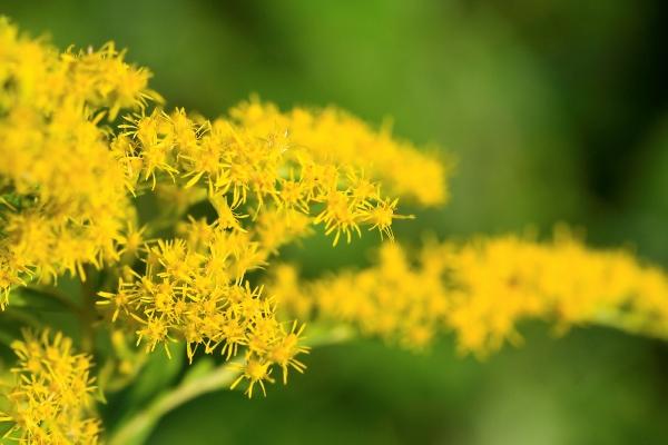 Aranyvessző gyönyörű virága (Solidago).