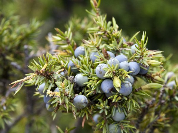 Borókabogyó (Juniperus communis).