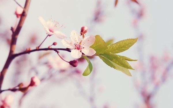 Cseresznyefa rózsaszín virágai friss, zöld levelekkel.