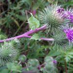 Szúrós növények az egészségünkért