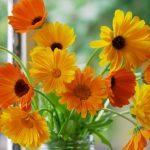 A sebgyógyító körömvirág
