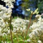 Réti legyezőfű – a növényi aszpirin