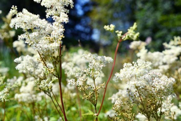 Réti legyezőfű (Filipendula ulmaria) a természetben.