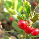 Három gyógynövény az egészséges emésztésért