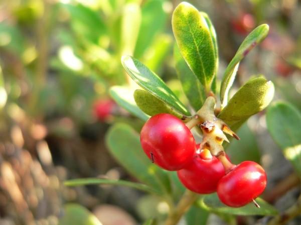 Medveszőlő (Arctostaphylos uva-ursi) piros termései.