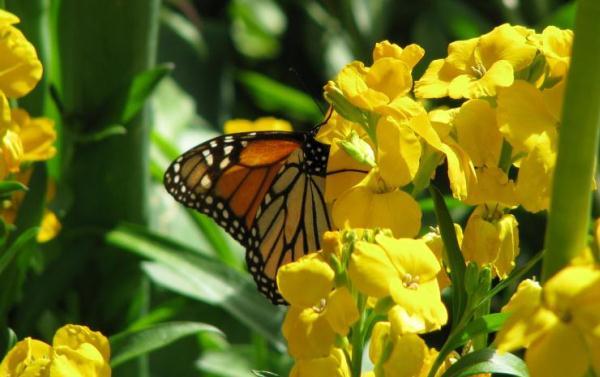 Sárga szennavirágra rászáll egy pillangó.