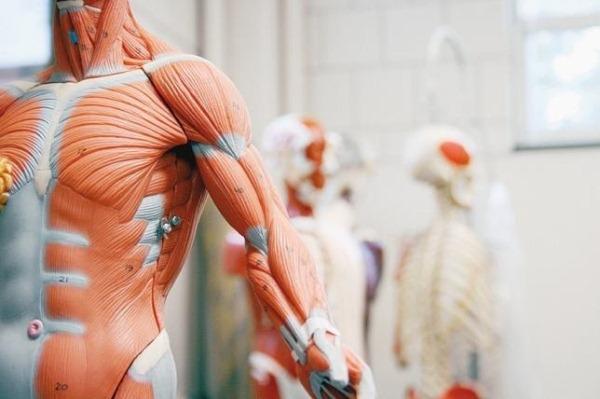Emberi csontváz izomszerkezettel, jelölésekkel, a háttérben elmosódva több csontváz is áll a sarokban.