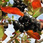 Fekete berkenye bogyós gyümölcsei a pirosló levelek között.