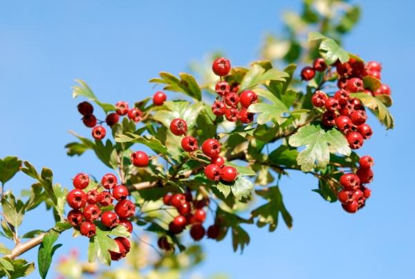 Galagonya ősszel érő gyönyörő, piros bogyói.