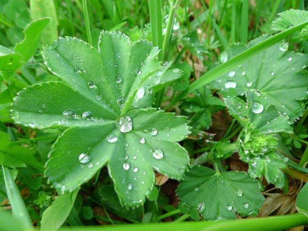 Alchemilla monticola, azaz közönséges palástfű levelein esőcseppek.