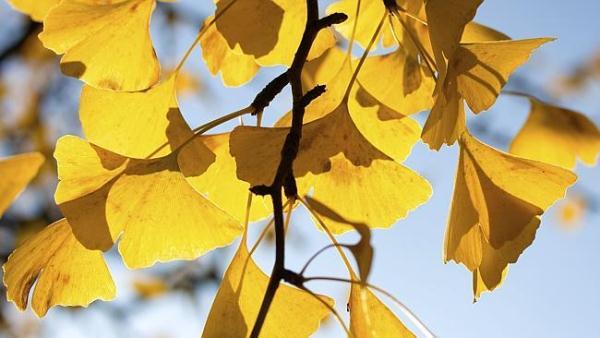 Ginkgo biloba (páfrányfenyő) megsárgult levelei az őszi napsütésben.