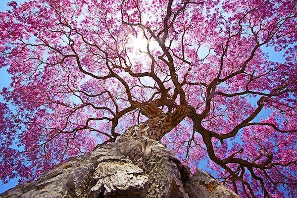Lapacho fa virágba borulva.