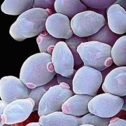 Candida fertőzés