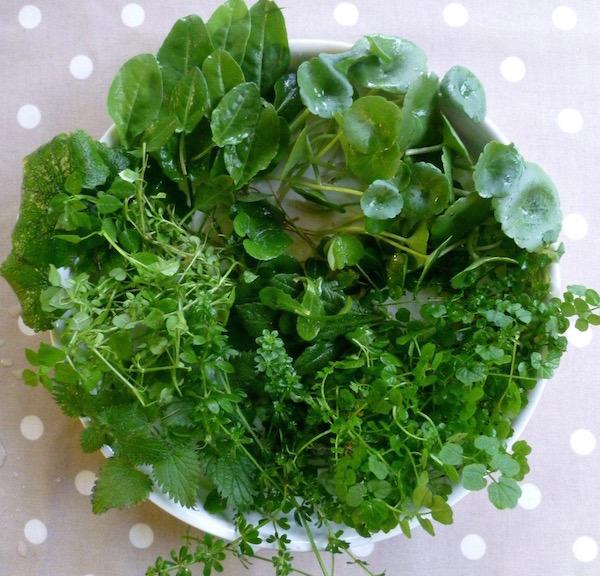 Vadon fellelhető ehető növények egy tálba gyűjtve: közönséges tyúkhúr, mezei sóska, fehér árvacsalán, kányazsombor és erdei madársóska.