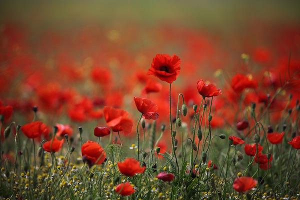 Pipacstenger tele gyönyörű pipacsokkal és mezei virágokkal.