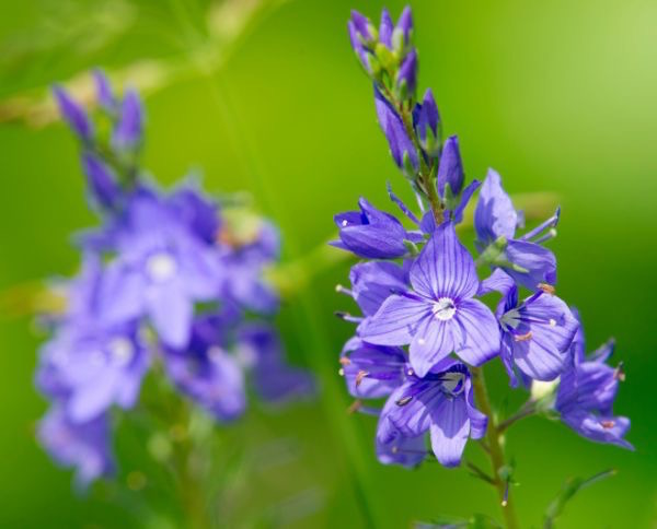 Orvosi veronika (Veronica officinalis) kékeslila virágzata.