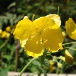 Chelidonium majus (vérehulló fecskefű) sárga virága.
