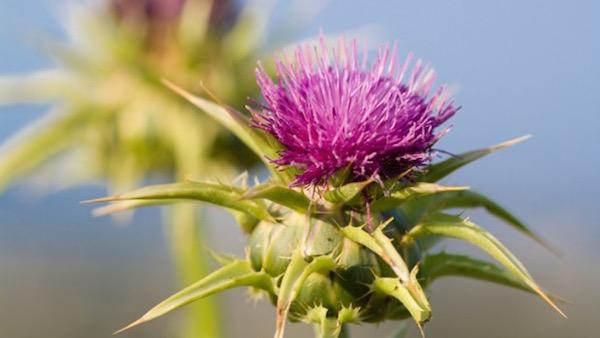 Máriatövis bíborszínű, bogáncsszerű virága.