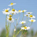 Kamilla, a Napisten virága – szépségünk szolgálatában