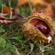 A tüskegúnyát viselő gyógyszer: vadgesztenye