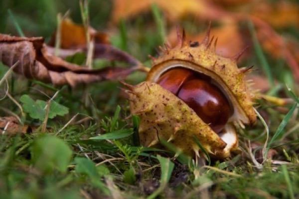 Vadgesztenye a földön, félig kinyílt tüskés héjában.