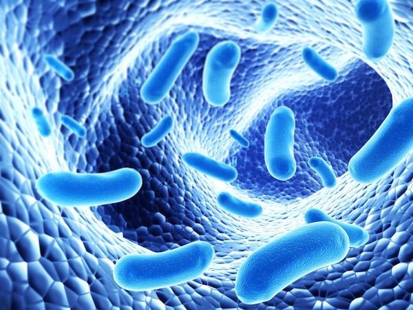 Baktériumok a bél nyálkahártyáján kék színnel ábrázolva.
