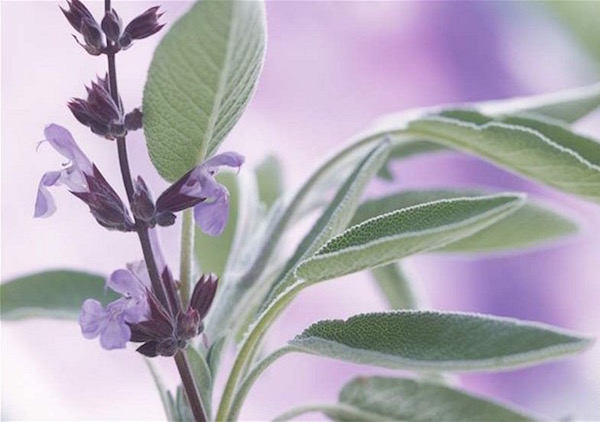 Orvosi zsálya (Salvia officinalis) nagyított fotója.