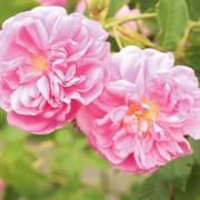 A damaszkuszi rózsa a dehidratált bőr megmentője