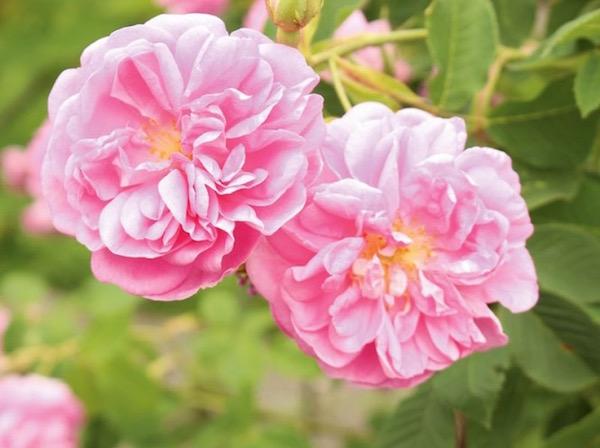 Rózsaszínű kinyílt damaszkuszi rózsák.