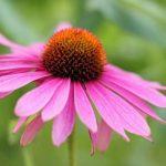 Bíbor kasvirág, az immunrendszer őrzője és védelmezője
