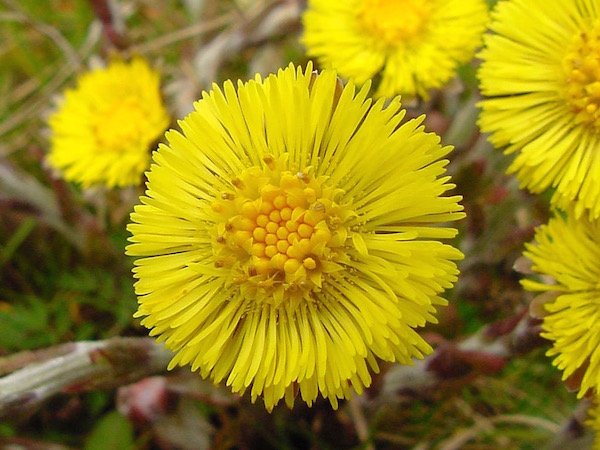 Martilapu sárga virágai (Tussilago farfara).