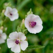 Egy bűbájos gyógynövény: orvosi ziliz